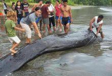 Seekor Ikan yang sudah mati diperkirakan berukuran panjang 5 meter dan lebar diameter 50 ditemukan sudah mati dan sudah ada bau busuk serta ditemukan banyak luka luka pada bagian badan ikan